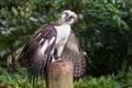 L aigle philippin Photos stock