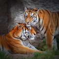L amour du tigre Photo stock