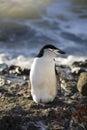 L'Antarctique - le pingouin de Chinstrap   Image libre de droits