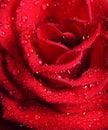 La macro di colore rosso è aumentato con le gocce dell'acqua Fotografia Stock Libera da Diritti
