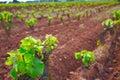 La Rioja vineyard in The Way of Saint James Royalty Free Stock Photo