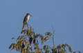 La sagra s flycatcher on top of a tree myiarchus sagrae perches Royalty Free Stock Photos