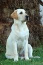 Lab dog Royalty Free Stock Photo