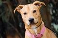 Lab Vizsla Mix Breed, Pink Collar, Adoption Photo Royalty Free Stock Photo