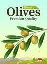 Label of green olives. Realistic Olive branch. Design elements for packaging. Vector illustration