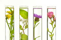Laboratory, Pink, honeysuckle, thistle and dandelion in test tub Royalty Free Stock Photo