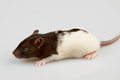 Laboratory rat Royalty Free Stock Image