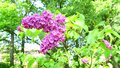 Laborious bumblebee flying around lilac branch gathering nectar
