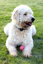 Labradoodle dog Royalty Free Stock Image