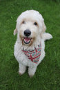 A Labradoodle dog portrait Royalty Free Stock Photo