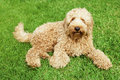 Labradoodle in grass Stock Photo