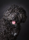 Labradoodle photographed in the studio Royalty Free Stock Photography