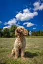 Labradoodle a sits obediently against a beautiful background and looking slightly out of the picture Royalty Free Stock Photography