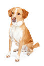 Labrador and Beagle Mix Dog Sitting to Side Royalty Free Stock Photo