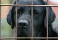 Labrador behind fence Royalty Free Stock Images