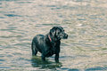 Labrador a black in water Royalty Free Stock Photography