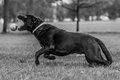 Labrador chasing ball black a in the park Stock Photography