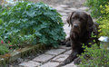 Labrador a chocolate laying in the garden Stock Photography