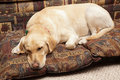 Labrador cute asleep on pillows Royalty Free Stock Photos
