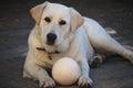 Labrador dog with ball white black football Stock Photos