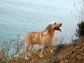 Labrador dog at the sea fidelity Royalty Free Stock Photos
