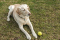 Labrador dog with tennis ball Royalty Free Stock Photo