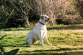 Labrador dog watching a beautiful is sitting on a green meadow ambience warm e friendly Stock Photo