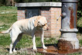 Labrador drinking standpipe female from in the park Stock Image