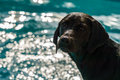 stock image of  Black Labrador Dog Excited to Swim in the Pool
