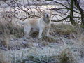Labrador, frosty morning Royalty Free Stock Image