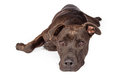 Labrador Pit Bull Dog Laying Over White Royalty Free Stock Photo