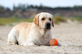 Labrador playing with an orange ball yellow in sand Stock Photography