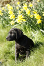 Labrador puppy black these dogs make excellent retrievers gun dogs Stock Photography