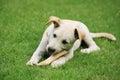 Labrador puppy eating big bone Royalty Free Stock Photo