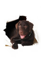 Labrador puppy peeping out of a hole in the white paper happy Stock Images