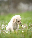 Labrador puppy playing with a leaf Royalty Free Stock Images