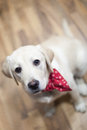 Labrador puppy with a red scarf Stock Images