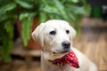 Labrador puppy with a red scarf Royalty Free Stock Photo