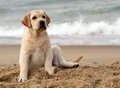 Labrador puppy at the sea portrait close Royalty Free Stock Photos