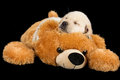 Labrador puppy sleeping on big brown teddy bear studio shot Stock Image