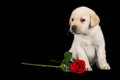 Labrador puppy standing on black with red rose studio shot Royalty Free Stock Images