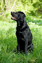 Labrador Retriever Royalty Free Stock Images