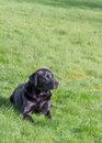 Labrador retriever a black dog resting on green grass copy space Royalty Free Stock Photos