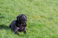 Labrador retriever a black dog resting on green grass copy space Stock Photography
