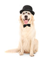 Labrador retriever with bow-tie wearing retro hat Stock Photos