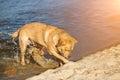 Labrador retriever dog on beach. Red Retriever digging pit. Sun flare Royalty Free Stock Photo