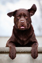 Labrador retriever dog with ears in the air breed portrait Royalty Free Stock Image