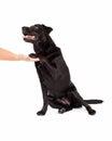 Labrador Retriever Dog and Paw Shake Royalty Free Stock Photo