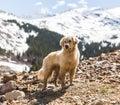 Labrador Retriever Dog in Colorado Mountains Royalty Free Stock Photo
