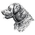 Labrador retriever head